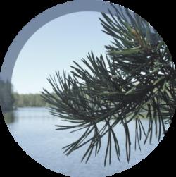 pine-needle